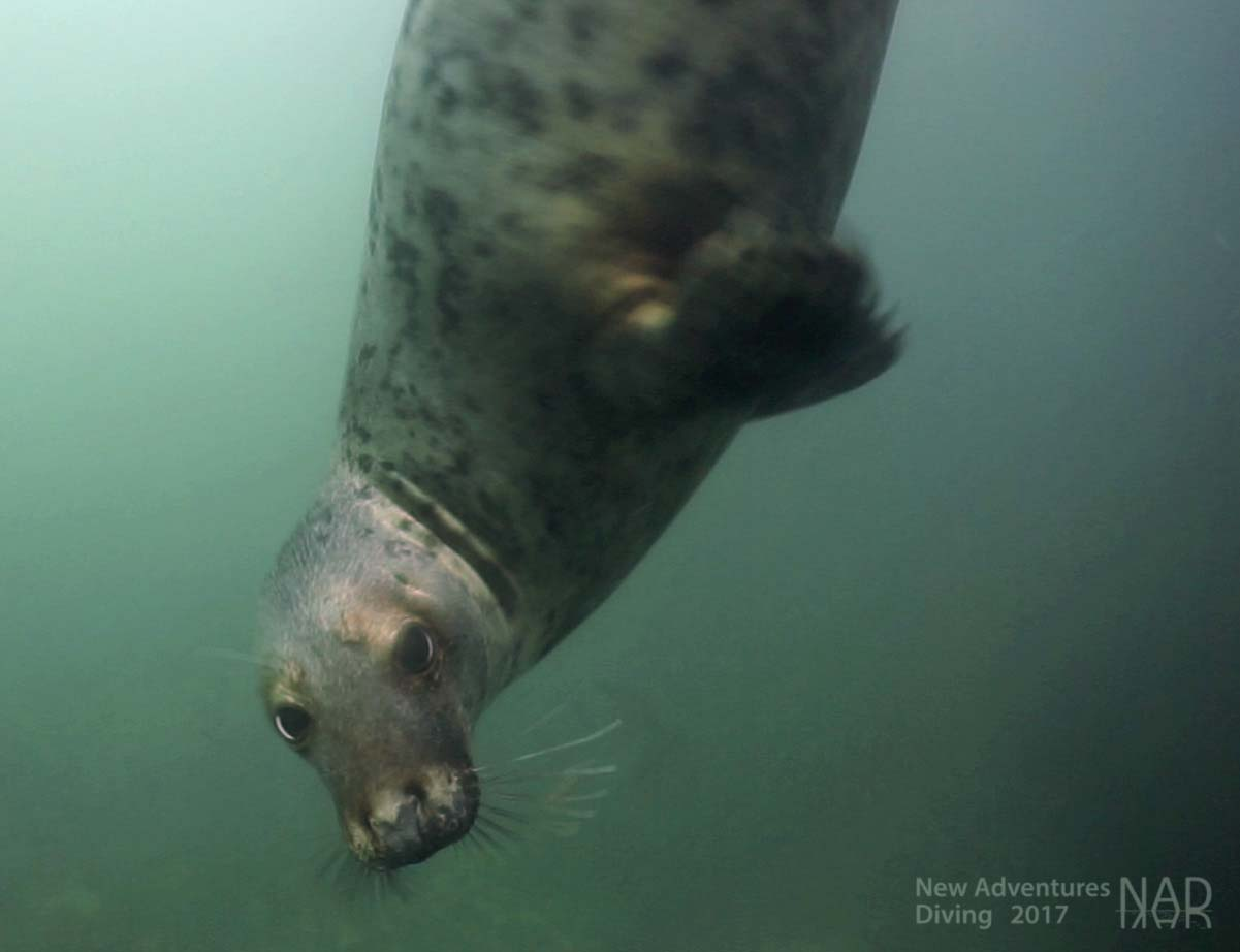 A Farne Islands seal hanging upside down.