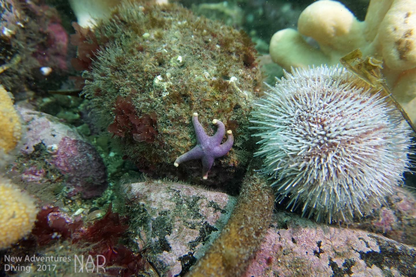 Common starfish and urchin
